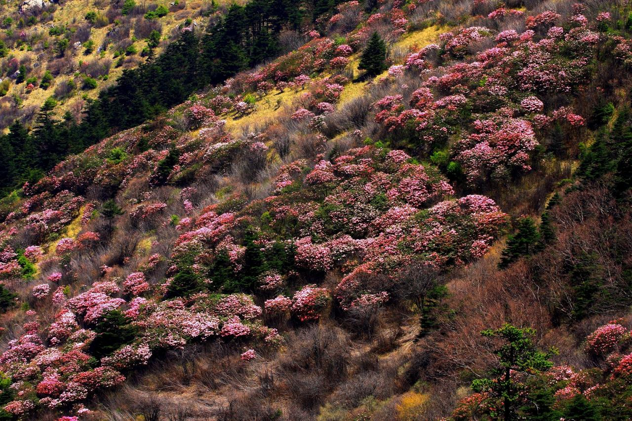 Rhododendren in Shennongjia